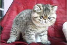 Chats exotic shorthair