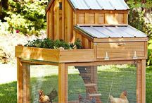 Chicken cop ecologia