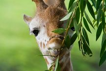 Giraffes / by Teri Abrams