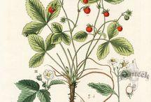 Eper, strawberry,