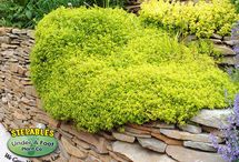Retaining Walls / Looking for that WOW plant to drape over your retaining wall? Look no further! STEPABLE plants upgrade old walls and turn them into new works of beauty!