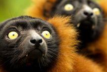 Lemurs of Madagascar / Lemurs are the most amuzing primates - they give you unforgettable experiences❤️❤️❤️