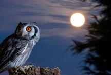36 Fakta Unik dan Mitos Burung Hantu yang Mencengangkan