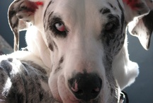 My Great Danes / My girlz:  Dayzi, Delylah and Vyolet / by Ursula Minich Boutwell