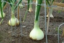 Growing veges