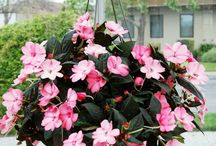 Impatiens - Sunpatiens / Sunpatiens are sun-loving, heat-loving impatiens that produce beautifully colored blooms.