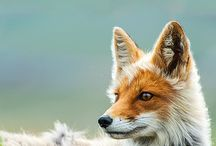 Foxes, and other sweet animals