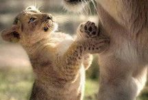 Felinos Selvagens