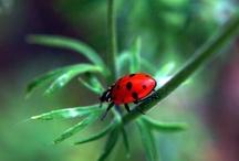 Ladybugs/Leppäkertut