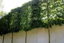 Examples of pleached trees