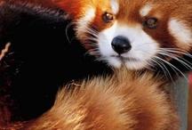 Red Pandas <3