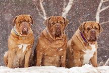 Love All Mastiffs / I own a French Mastiff named Lexi. / by Nicole Geers
