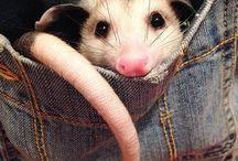 opossum love