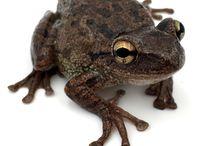 Grenouilles / Diverses espèces de grenouilles