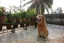 Pets / Hari my labrador is the hero here..
