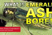 Handling Emerald Ash Borer / Emerald Ash Borer is a destructive force in North America for ash trees. Do you have an ash tree?  Has EAB already infested it? How can you tell if your tree needs to be treated?  ISU Extension and Outreach is here to help answer your Emerald Ash Borer questions with this collection of videos. / by Extension & Outreach