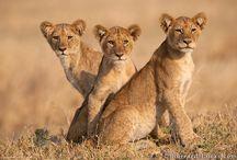 Lions / ♥