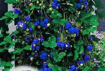 căpșuni albastre