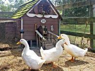 Homestead Ducks
