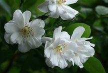 Rose / Rose varieties
