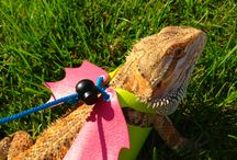 Agama Bearded Dragon