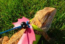 Agama Bearded Dragon