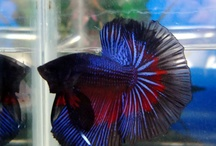 Betta Beauties / I am betta breeder, love and carrying of them since fry
