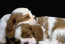 Dogs / Obsession with the blenheim cavalier king charles spaniel! I miss our beloved dog Charlie!!