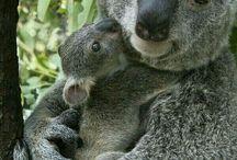 koalak