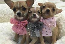 miniatyr breeds/ x small breed