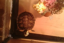 Squirt  / My pet turtle