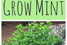 how to grow and preserve mint