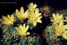 Pseudolobivia - Brasilicactus - Winteria - Echinocereus - Polichotele / Mediolobivia - Setiechinopsis - Mammilloopsis  --  digitalisierte Dias meines Vaters Hans Hermann (1926-2001)