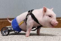 pig things