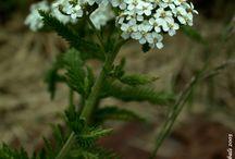 foraging Yarrow Achillea millefolium Αχιλλέα Αγριαψιθιά