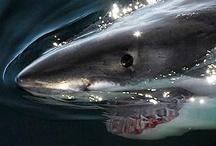Quicksilver / Sharks