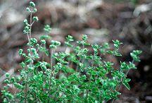 zahrada - bylinky, pěstování rostlin