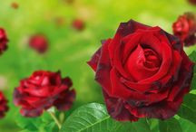 Grow Beautiful Flowers / Love beautiful flowers? Want to grow them? Follow to see a collection of stunning blooms and read tips on how to plant them