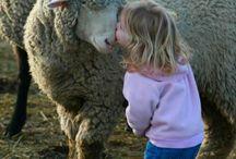 Sheep / 귀여운 양 사진 모음