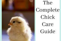 Backyard Chicken Project Posts