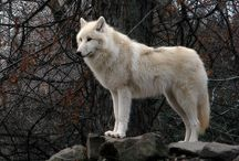 Tundra Wolf (Canis Lupus Albus) / News, information, status and research on the Tundra Wolf