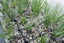 Ceapa eșalotă-Allium cepa ascalonicum