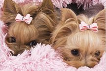 Yorkies! / The most adorable dogs on the planet / by Debbie Beukelman