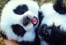 pandas love