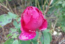 Rosen der Klang LIEBE im Herzen ☀️