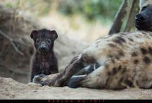 Sabi Sands wildlife / Wildlife in the Sabi Sands Game Reserve, South Africa