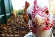 Funny Chickens / With their funny gallops, 'moon walking' scratching, daily dust baths and daft ways, chickens can't help but amuse.
