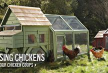 Chickens & their Coops