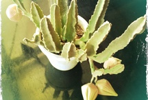 Joe de Villiers - own gardening, bonzai, etc. / My green fingers....
