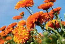 Flower Power / 20 Pflanzenarten werden auf unseren Bio-Feldern in La Gacilly angebaut. Kornblume, Kamille, Rose ...